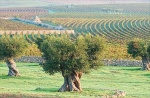 Vineyards Puglia